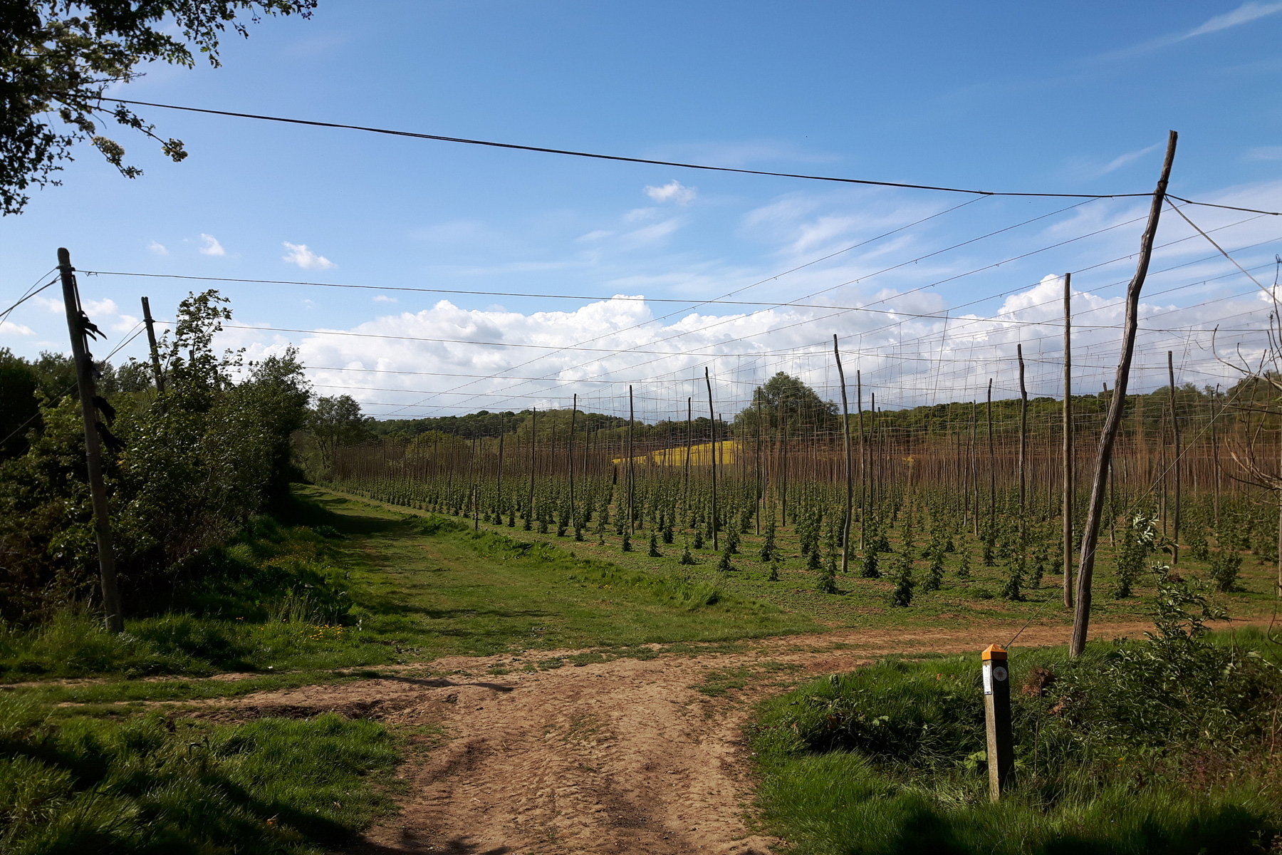 Scotney Estate Hop Garden
