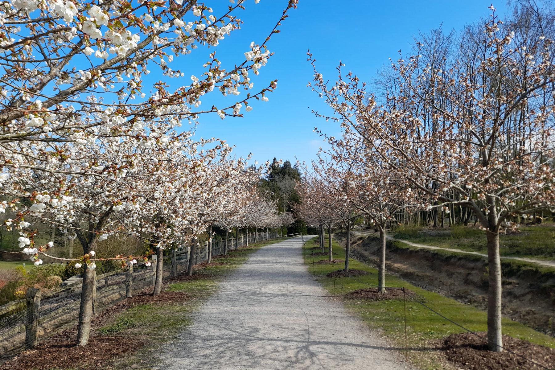 Bedgebury Cherry Blossom