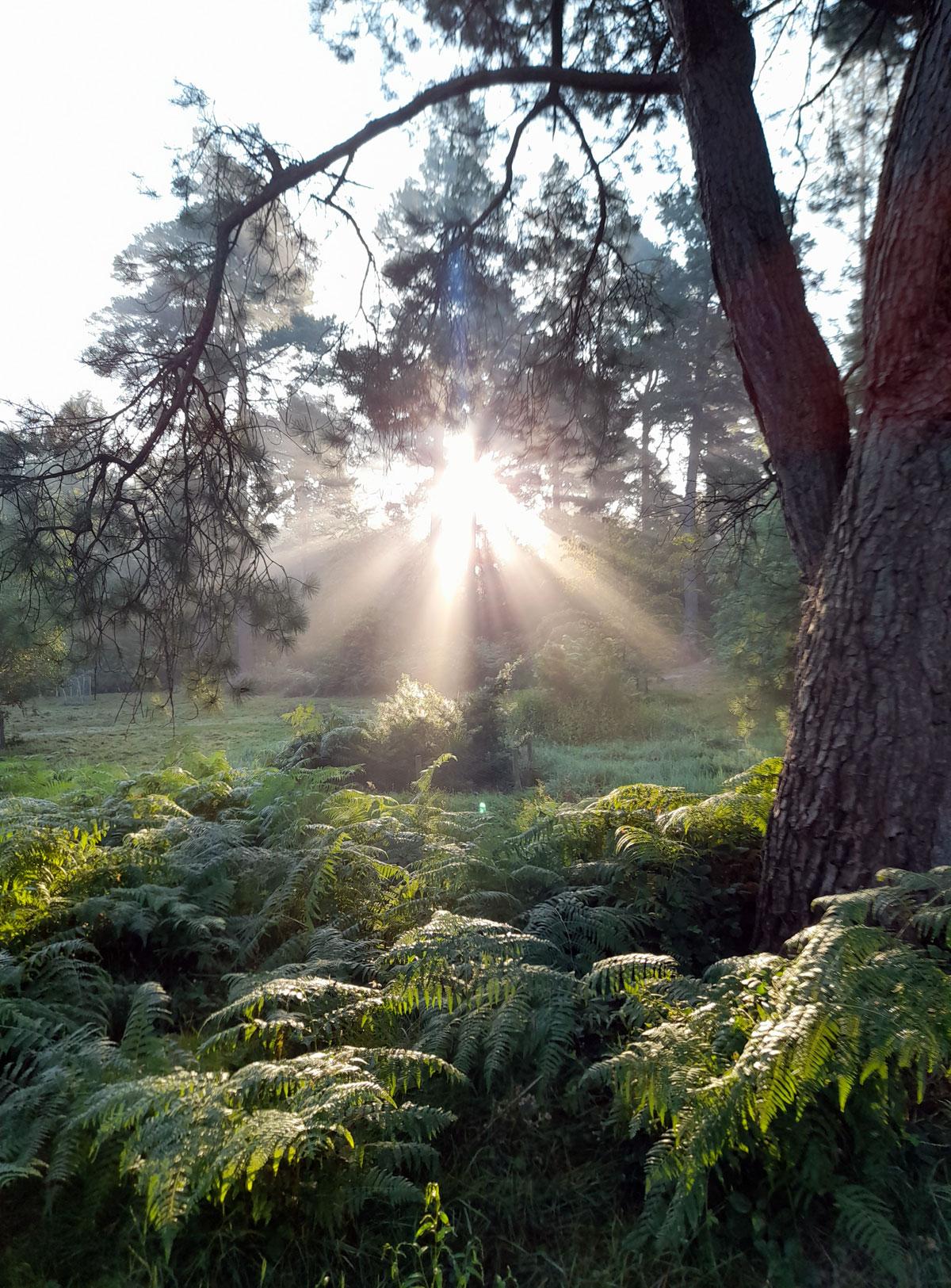 Sunlight in Bedgebury Pinetum